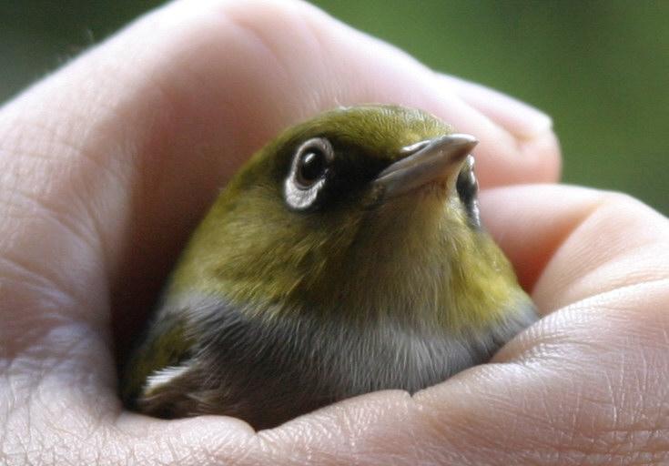 bird-in-the-hand-silvereye-tauhou