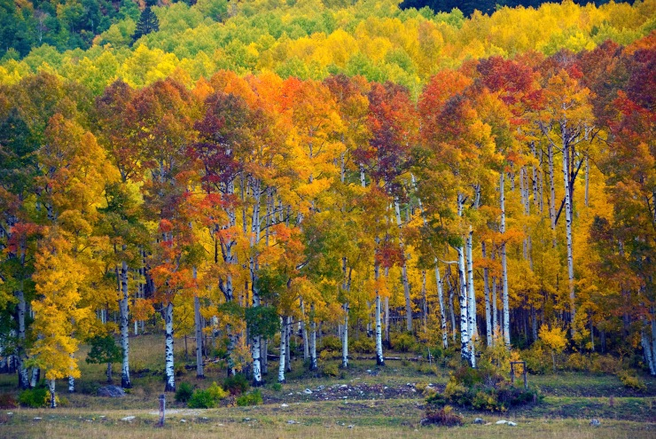 Aspens_at_Sunset,_Purgatory